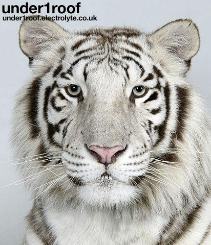 In pictures: The four faces of the Bengal tiger | Environment | guardian.co.uk discription=